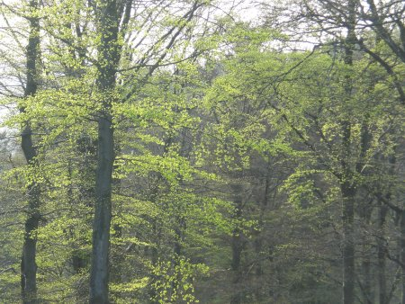 Die Buchen längs meiner Laufstrecken werden grün - aber auch die anderen ;-)