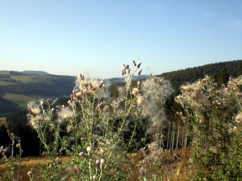Kein Mohn, keine Baumwolle - verblühende Disteln auf dem Weg zur Krämer Höhe