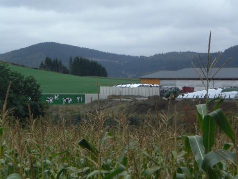 Zwischen Altenfeld und Siedlinghausen: Kühe die keine sind
