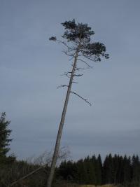 Die Blätter hängen hoch, am Baum der Erkenntnis, auch im Sauerland (foto: zoom)