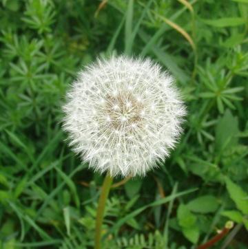 Es bleibt wieder nur die Pusteblume -die naneren bekommen die Rosen (archiv: zoom)