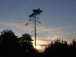 Mein Lieblingsbaum an den Franzosensteinen (foto: zoom)