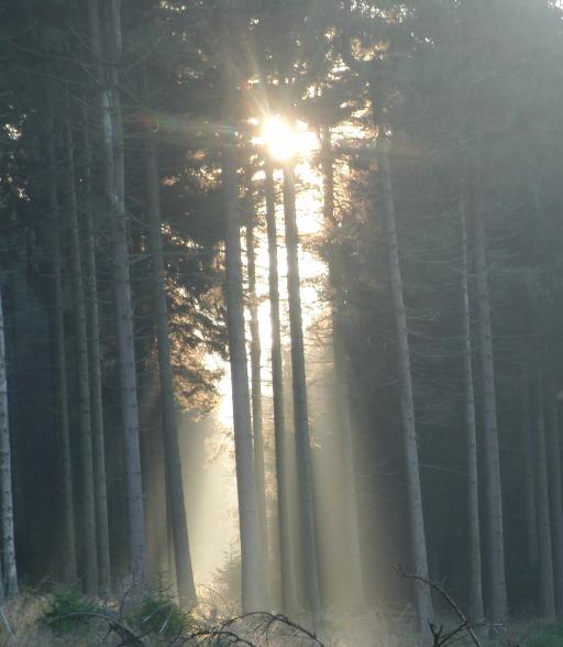 Sonne im Fichtenwald.