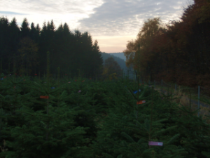 Weihnachtsbaumkultur am Kreuzberg (foto: zoom)