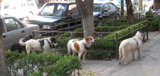 Auch der Mexi mag es ordentlich: jedenfalls parkt er seine Hunde in Reih und Glied. (foto: koerdt)