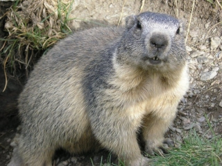 Ground Hog (foto: wikipedia)