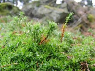 Moospflanzen auf dem Kahlenberg. (foto: zoom)