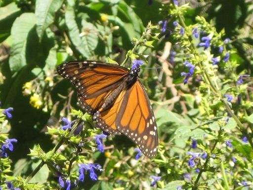 Einer der Hauptpersonen des heutigen Berichts: vereinzelter Monarch-Falter; ansonsten mögen die schon die Gemeinschaft. (fotos: koerdt)