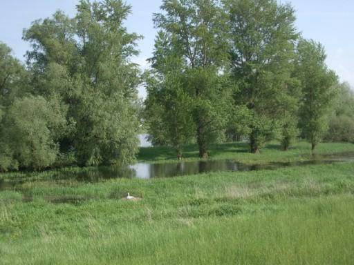 Fluss Oder (Deutsche Seite) mit Schwan auf seinem Nest