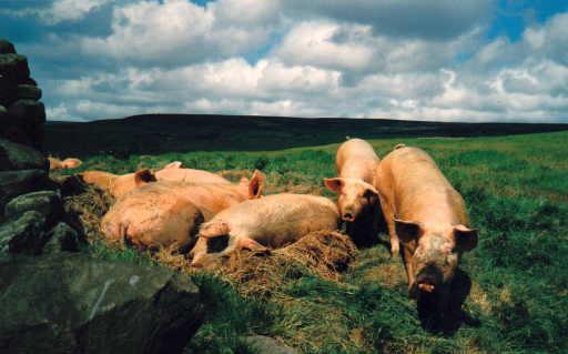 Echte Schweine in englischer Landschaft (foto:chris)