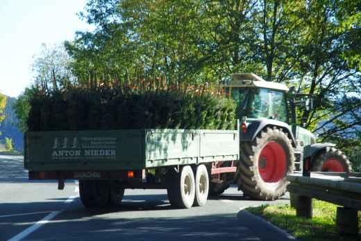 Der ersten Weihnachtsbäume (foto: camera)