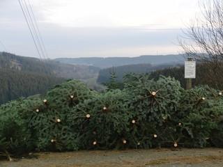 Fichten geschlagen - bald ist Weihnachten (foto: zoom)