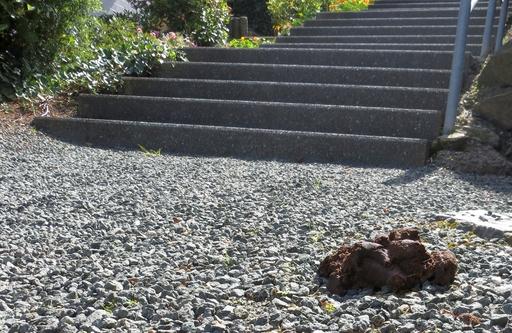 Hundkot auf geschottertem Fußstieg am Allenberg. (foto: zoom)