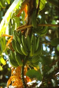 bananenstaudeweb