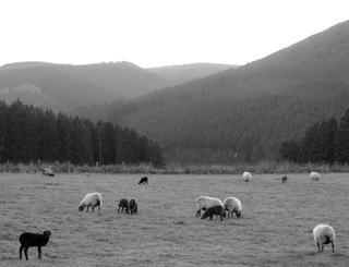 Wetter schlecht - die Schafe bleiben ... (foto: zoom)