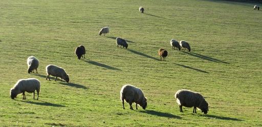 Schafe auf der Ennert