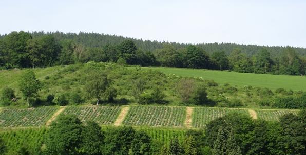 Weihnachtsbaumkulturen, wie hier in Siedlinghausen, prägen mehr und mehr das Lanschaftsbild des Hochsauerlandkreise. (archiv: zoom)