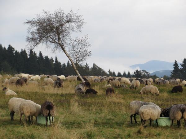 Auf dem Kahlen Asten weiden zur Zeit Schafe und Ziegen die Heide. (foto: zoom)