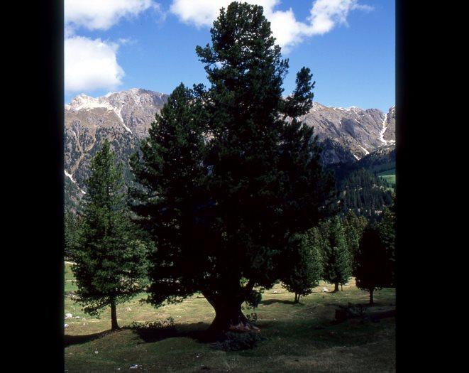 Zirbe im Villnößtal, Dolomiten, Südtirol
