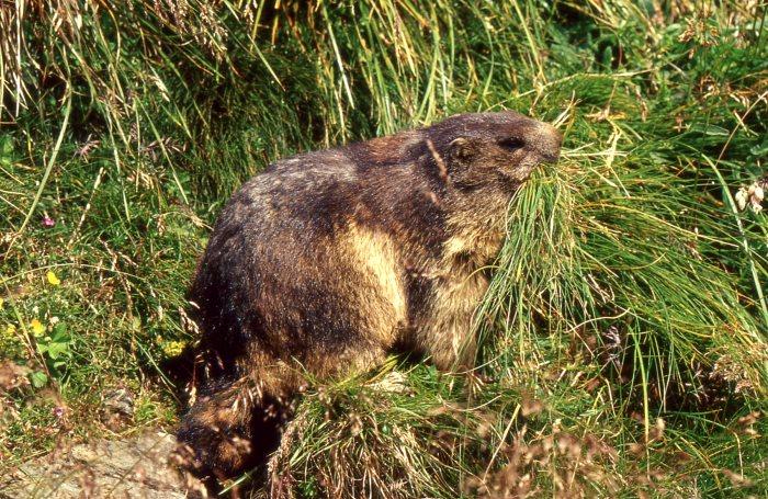(Murmeltier, Charaktertier der Alpen, Quelle: Naturfoto Heinz Tuschl, Pentling)