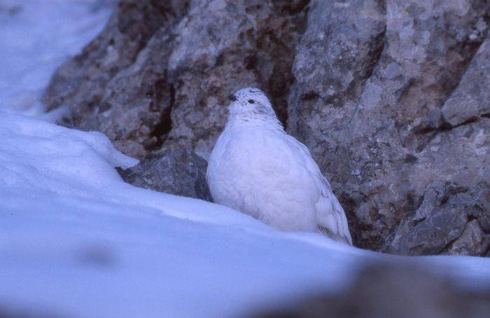 Schneehuhn im Winterkleid - die Tarnfarbe bietet in schneefreier Umgebung keinen Schutz mehr. (Foto: Hans-J. Fünfstück www.5erls-naturfotos.de)