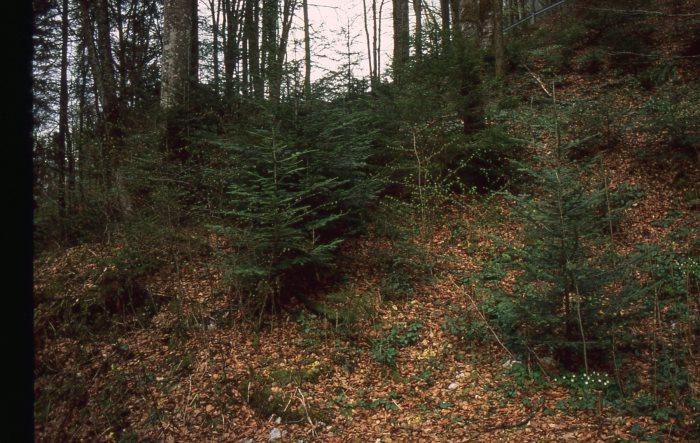 Weißtanne (abies alba): Stark gefährdet durch überhöhte Schalenwildbestände; Garant für stabile Waldökosysteme, wildersteht Stürmen weitaus besser als die Fichte und kann auch ein Mehr an Wärme - bedingt durch den Klimawandel - gut vertragen.