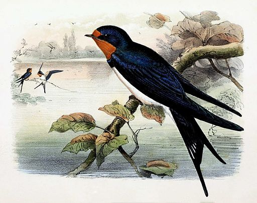 Hirundo rustica, Barn swallow (wikimedia commons[1])