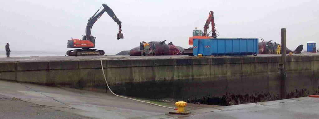 Tote Wale im Bauhafen Holmer Siel auf der Halbinsel Nordstrand. (foto: rose)