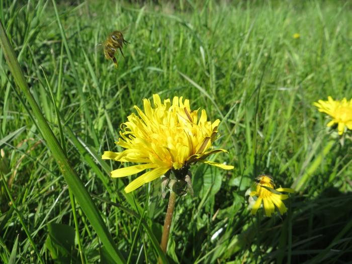"""Anflug oder Abflug? Der Löwenzahn ist fast die einzige """"Wildblume"""", die zur Zeit in der Ruhraue blüht."""